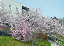 Cherry blossoms in full bloom at HIP
